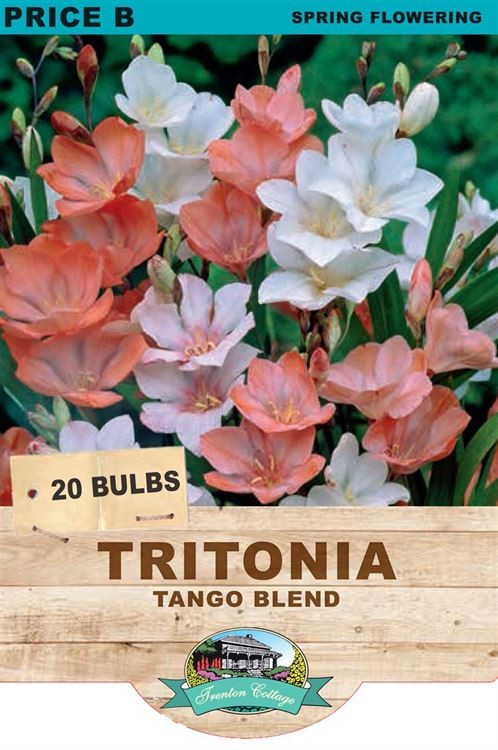 Picture of TRITONIA - TANGO BLEND