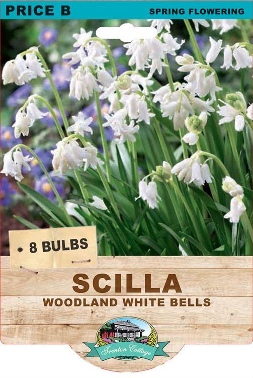 Picture of SCILLA - WHITE BELLS