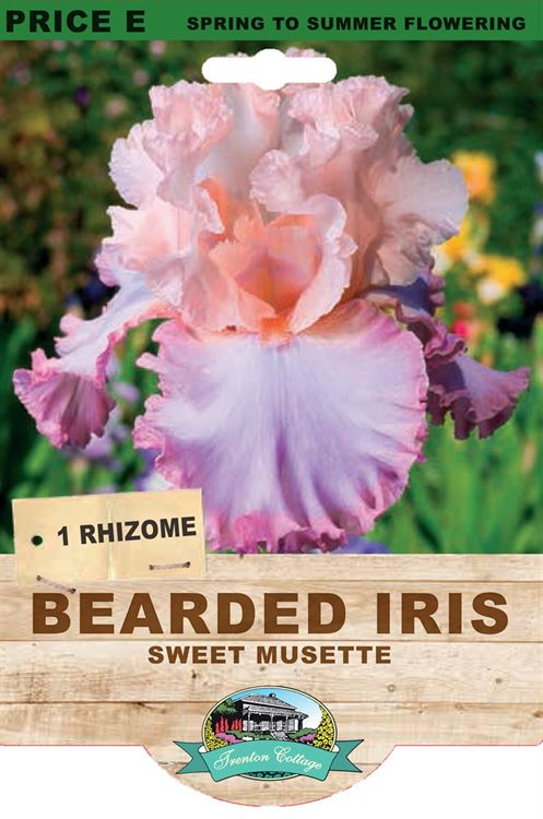 Picture of BEARDED IRIS - SWEET MUSETTE