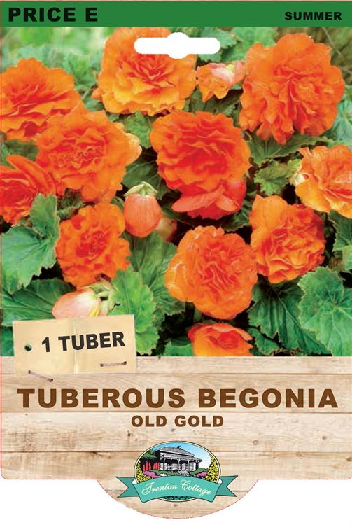 Picture of TUBEROUS BEGONIA - OLD GOLD