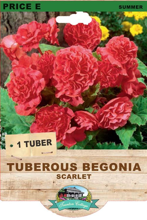Picture of TUBEROUS BEGONIA - SCARLET