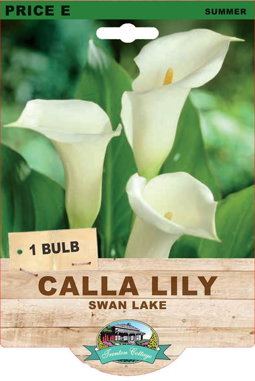 Picture of CALLA LILY - SWAN LAKE