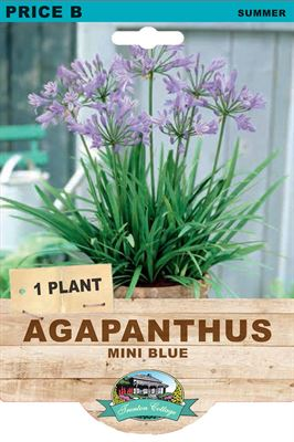 Picture of AGAPANTHUS - MINI BLUE