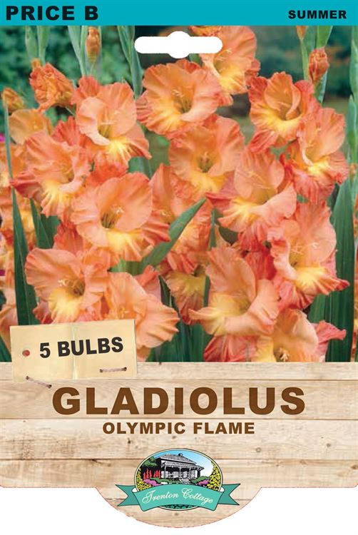 Picture of GLADIOLUS - OLYMPIC FLAME