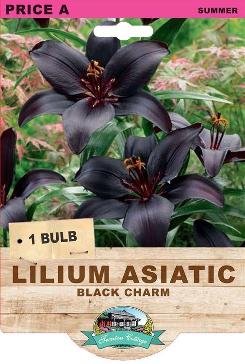 Picture of LILIUM ASIATIC - BLACK CHARM