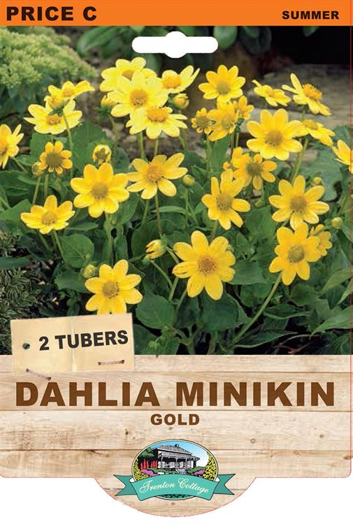 Picture of DAHLIA MINIKIN - GOLD
