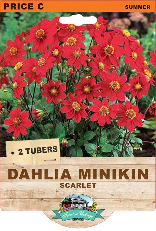 Picture of DAHLIA MINKIN - SCARLET