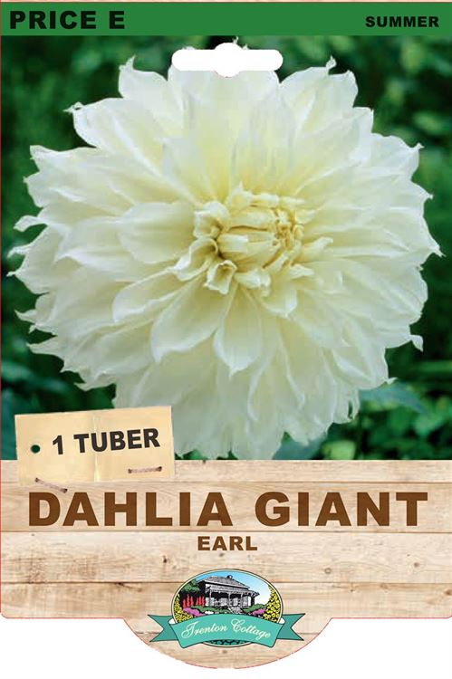 Picture of DAHLIA GIANT - EARL