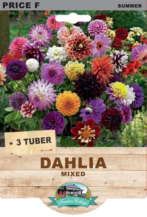 Picture of DAHLIA - MIXED