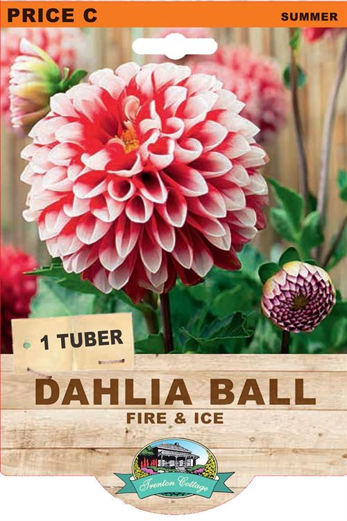 Picture of DAHLIA BALL - FIRE & ICE