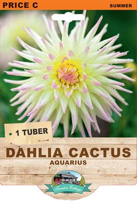 Picture of DAHLIA CACTUS - AQUARIUS