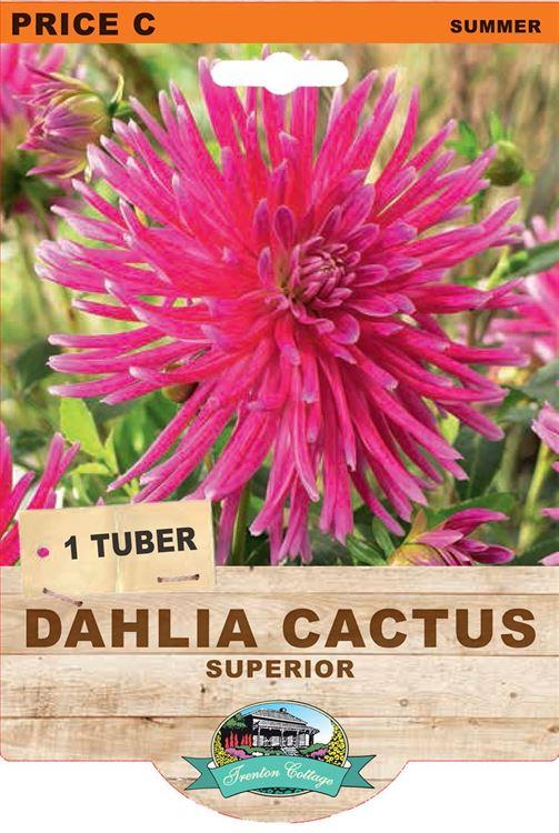 Picture of DAHLIA CACTUS - SUPERIOR