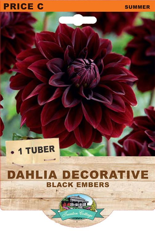 Picture of DAHLIA DECORATIVE - BLACK EMBERS