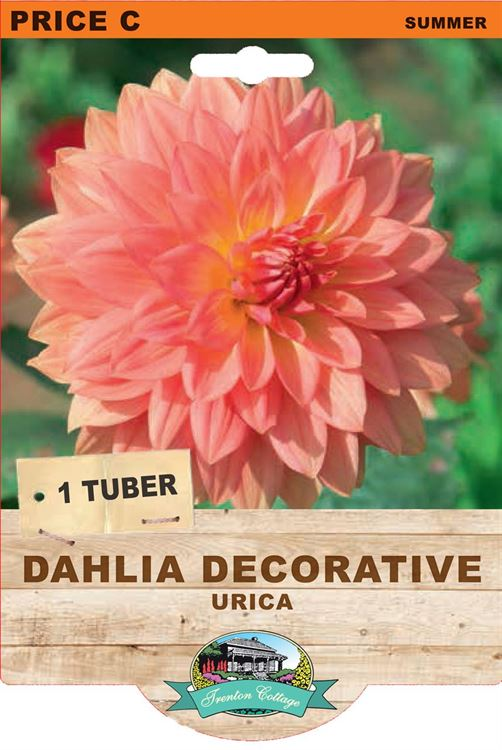 Picture of DAHLIA DECORATIVE - URICA
