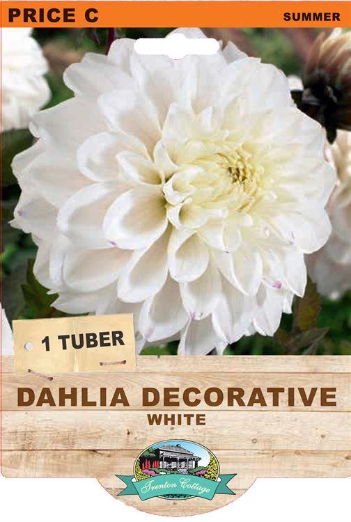 Picture of DAHLIA DECORATIVE - WHITE