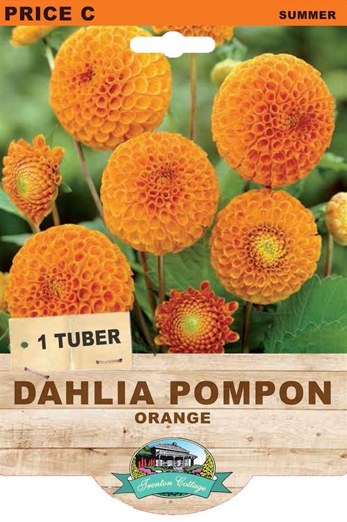 Picture of DAHLIA POMPON - ORANGE