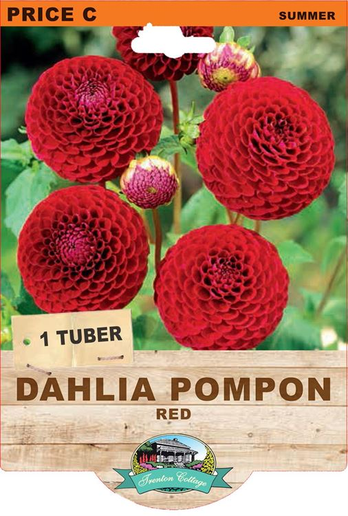Picture of DAHLIA POMPON - RED