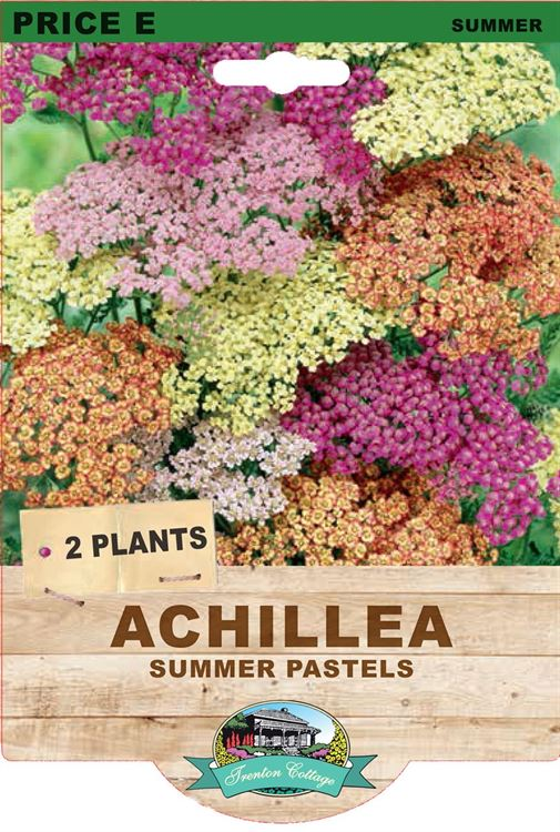 Picture of ACHILLEA - SUMMER PASTELS