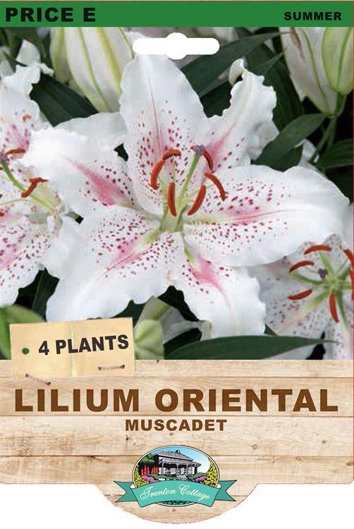 Picture of LILIUM ORIENTAL - MUSCADET