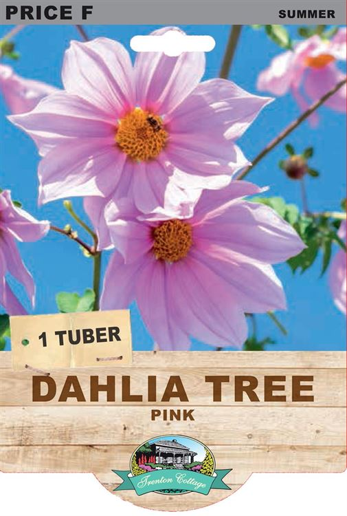 Picture of DAHLIA TREE - PINK