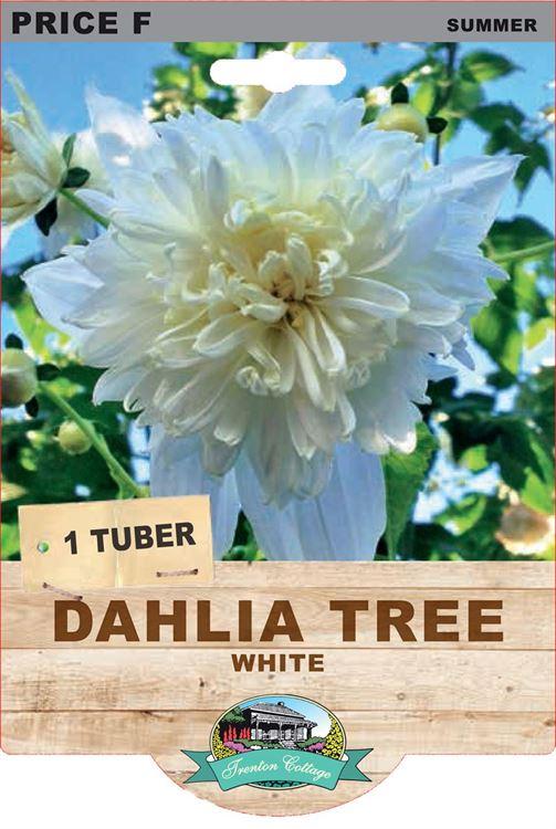 Picture of DAHLIA TREE - WHITE
