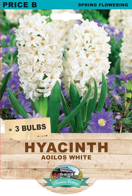 Picture of HYACINTH - AOILOS WHITE