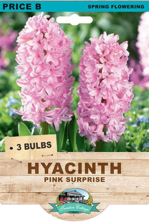 Picture of HYACINTH - PINK SURPRISE