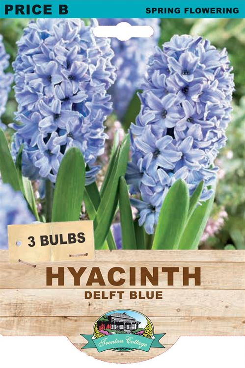 Picture of HYACINTH - DELFT BLUE