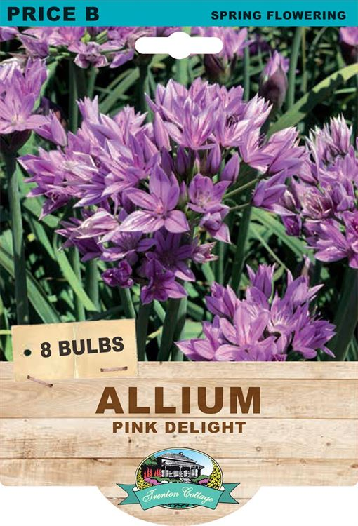 Picture of ALLIUM - PINK DELIGHT