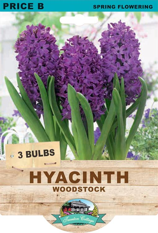 Picture of HYACINTH - WOODSTOCK