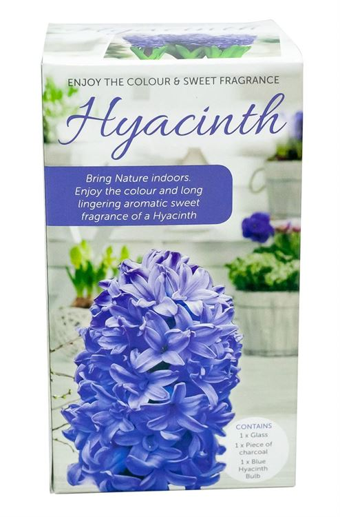 Picture of HYACINTH VASE KITS - BLUE