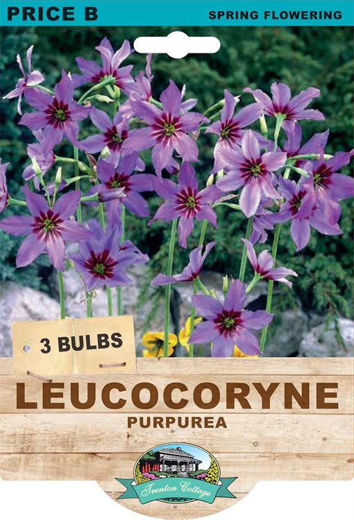 Picture of LEUCOCORYNE - PURPUREA