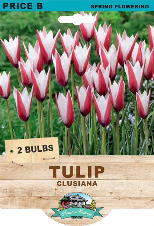 Picture of TULIP - CLUSIANA