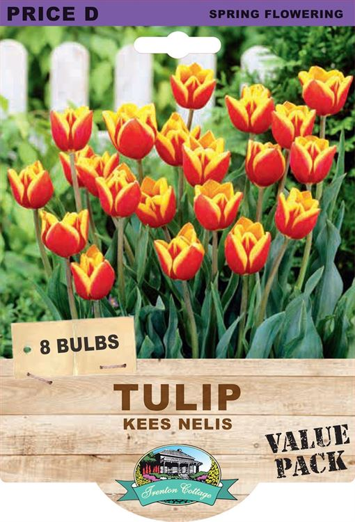 Picture of TULIP - KEES NELIS