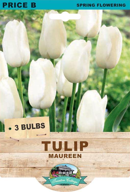 Picture of TULIP - MAUREEN