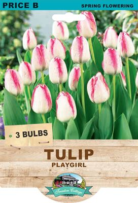 Picture of TULIP - PLAYGIRL