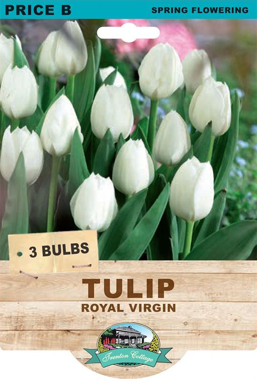 Picture of TULIP - ROYAL VIRGIN