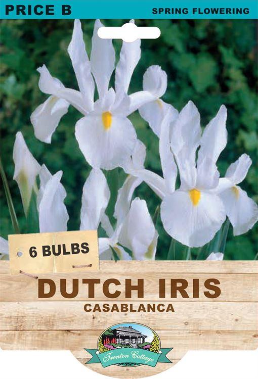 Picture of DUTCH IRIS - CASABLANCA
