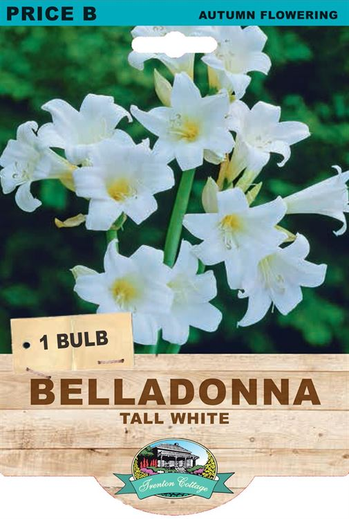 Picture of BELLADONNA - TALL WHITE