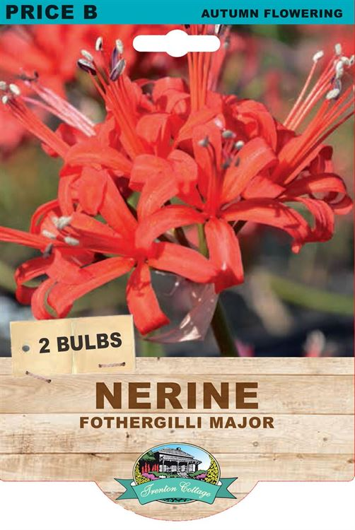 Picture of NERINE - FOTHERGILLI MAJOR