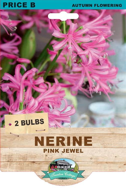 Picture of NERINE - PINK JEWEL
