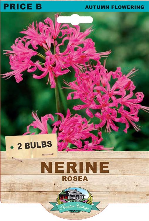 Picture of NERINE - ROSEA