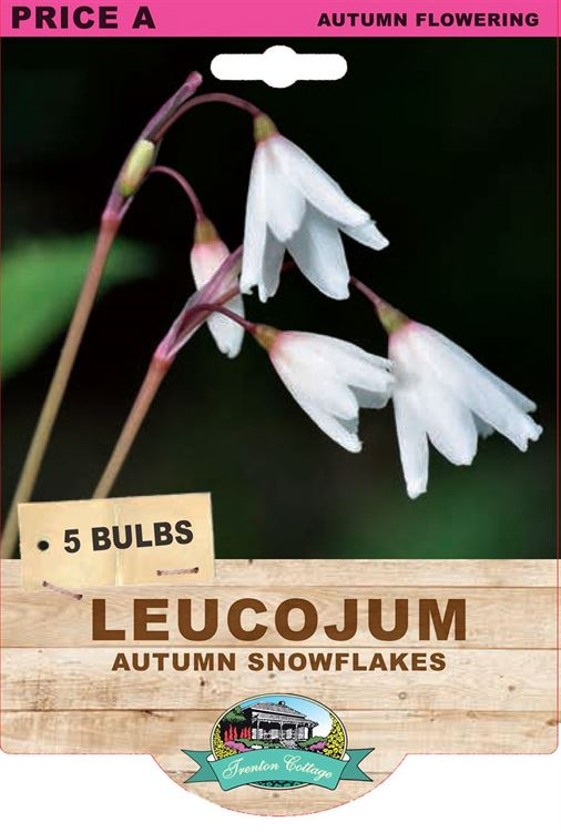 Picture of LEUCOJUM - AUTUMN SNOWFLAKES