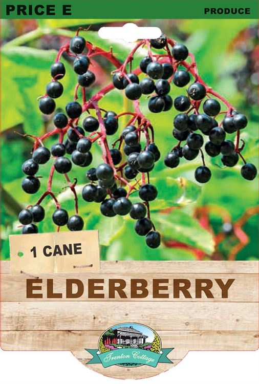 Picture of ELDERBERRY
