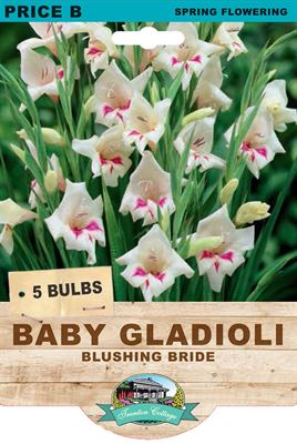 Picture of BABY GLADIOLI - BLUSHING BRIDE