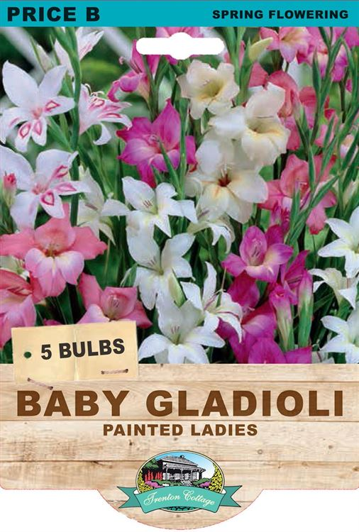 Picture of BABY GLADIOLI - PAINTED LADIES