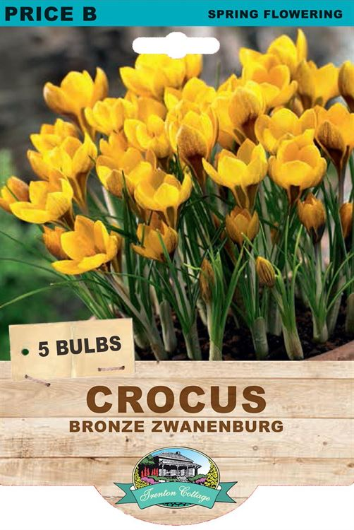 Picture of CROCUS - BRONZE ZWANENBURG