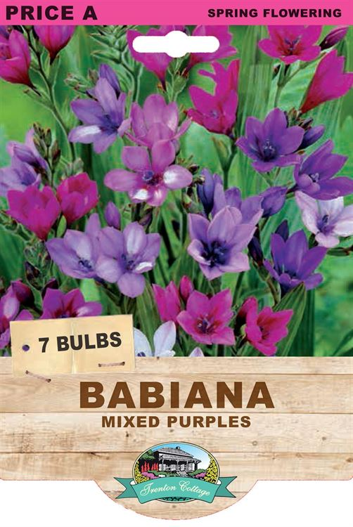 Picture of BABIANA - MIXED PURPLES