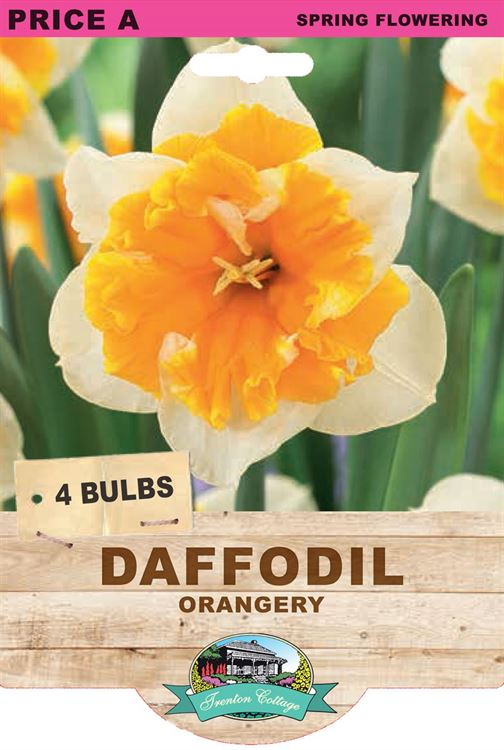 Picture of DAFFODIL - ORANGERY