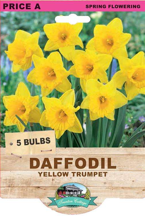 Picture of DAFFODIL - YELLOW TRUMPET